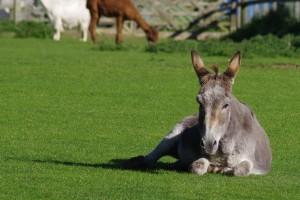 donkey-981555_640