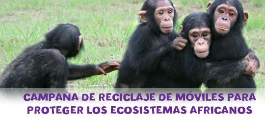 Apadrinamiento de Chimpances